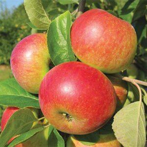 Placatice Destilát Jablka